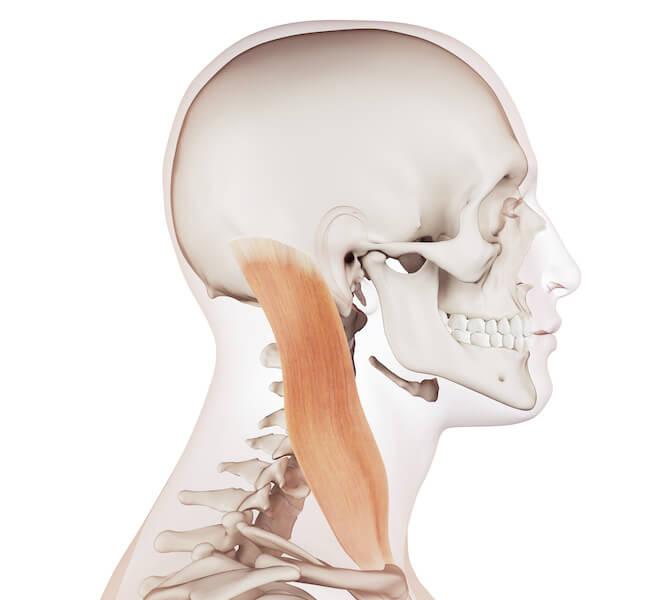 喉の筋肉=胸鎖乳突筋
